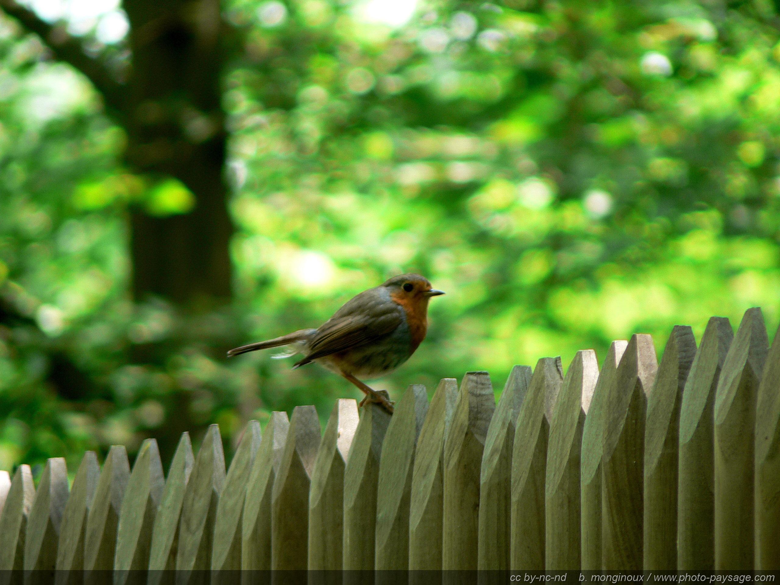 Oiseaux Oiseau Un Rouge Gorge Sur Une Palissade Photo