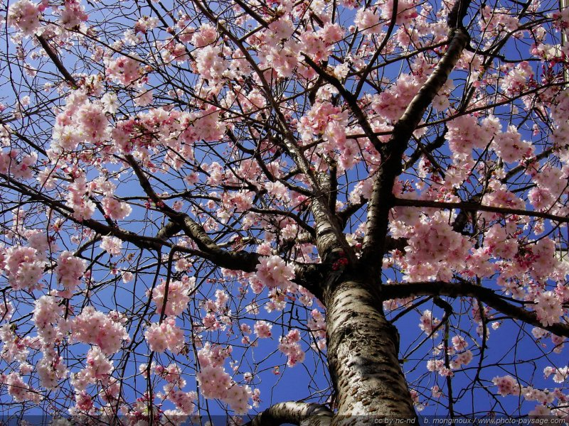 normal_printemps-arbre-fleurs-4