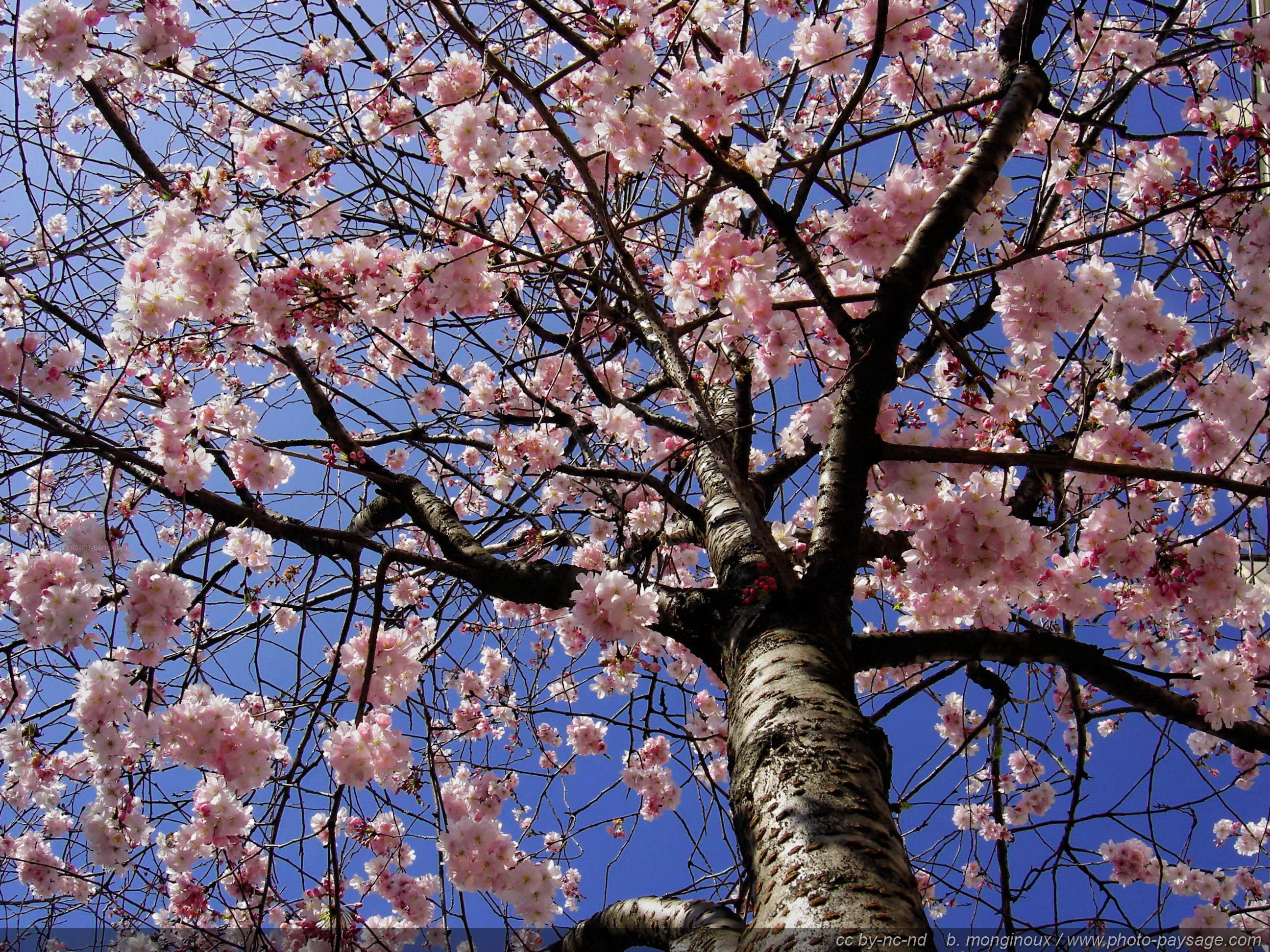 arbre en fleurs la photo printani re la plus partag e le blog de photo. Black Bedroom Furniture Sets. Home Design Ideas
