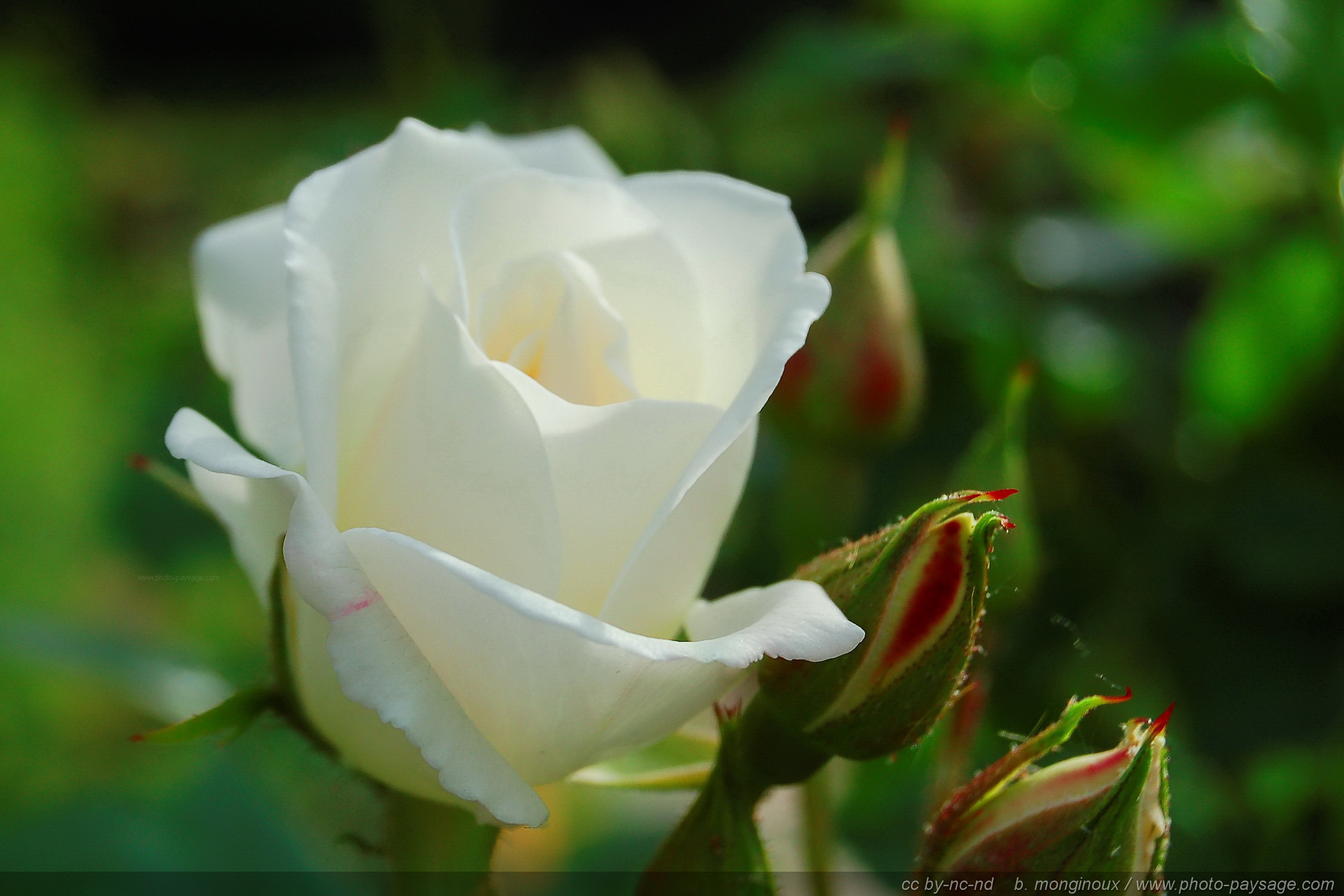 Cliquez ici pour afficher et t l charger le fond d 39 ecran - Rose de noel blanche ...