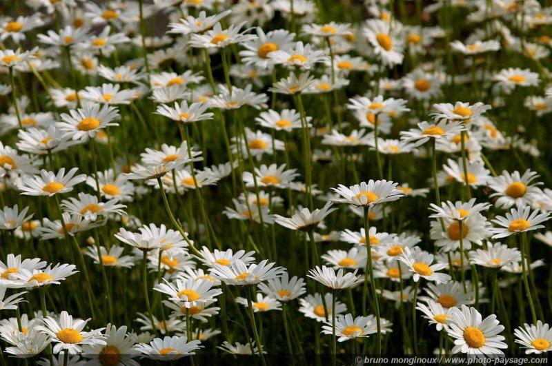 De jolies fleurs : un bouquet de marguerites | Photo-Paysage.com, le blog