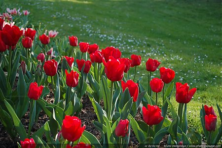 Tulipes rouges sur fond de pelouse