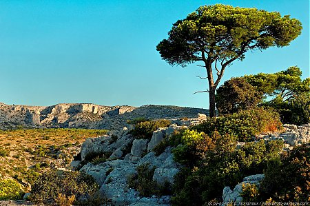 Pin et garrigue