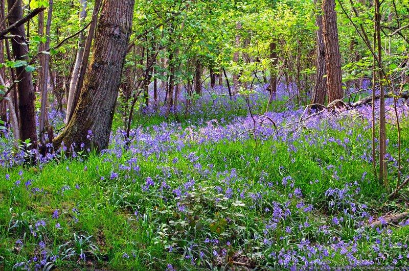 des milliers de jacinthes sauvages qui tapissent d 39 un magnifique bleu printanier les sous bois. Black Bedroom Furniture Sets. Home Design Ideas