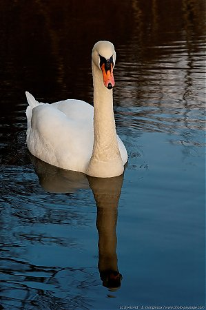 Cygne-Foret_de_Chantilly_-02.JPG