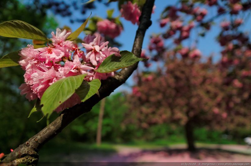 Cerisier Bois Franc : arri?re plan un cerisier en fleur – Bois de Boulogne, Paris, France