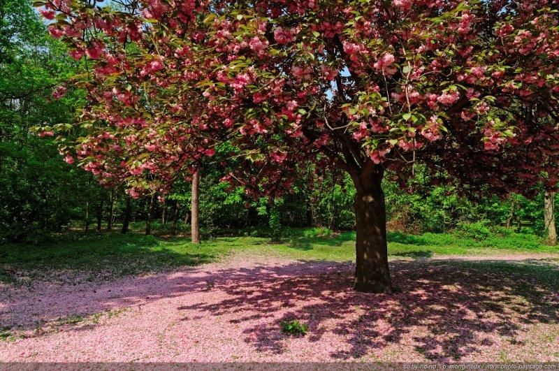 Cerisier Bois Franc : Un cerisier en fleur – Bois de Boulogne, Paris, France