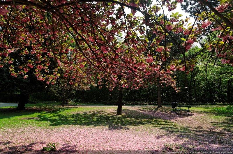 Cerisier Bois Franc : repos pr?s des cerisiers en fleur – Bois de Boulogne, Paris, France