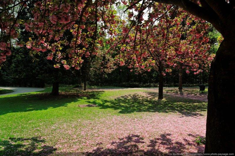 Cerisier Bois Franc : ombre d'un cerisier en fleur – Bois de Boulogne, Paris, France