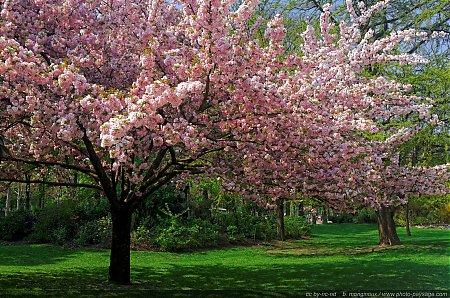 Les plus belles images de printemps : un superbe cerisier en fleurs à Paris