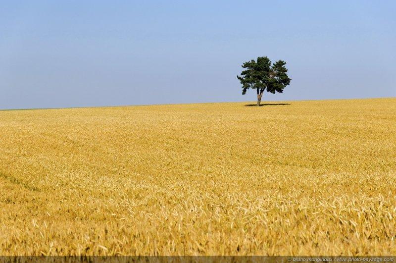 un arbre solitaire au milieu d 39 un champs de bl photo le blog. Black Bedroom Furniture Sets. Home Design Ideas