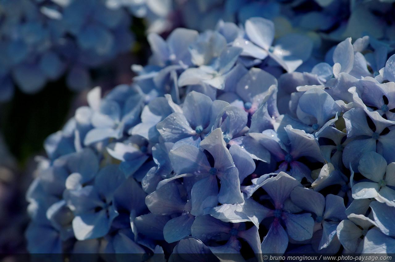 Cliquez ici pour afficher et t l charger le fond d 39 ecran - Terre pour hortensia bleu ...