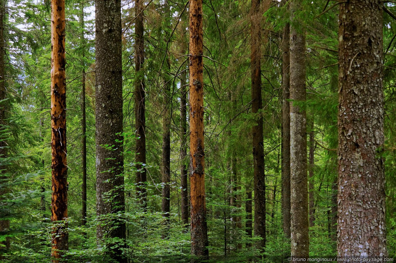 Cliquez ici pour afficher et t l charger le fond d 39 ecran - Quand doit on tailler les coniferes ...