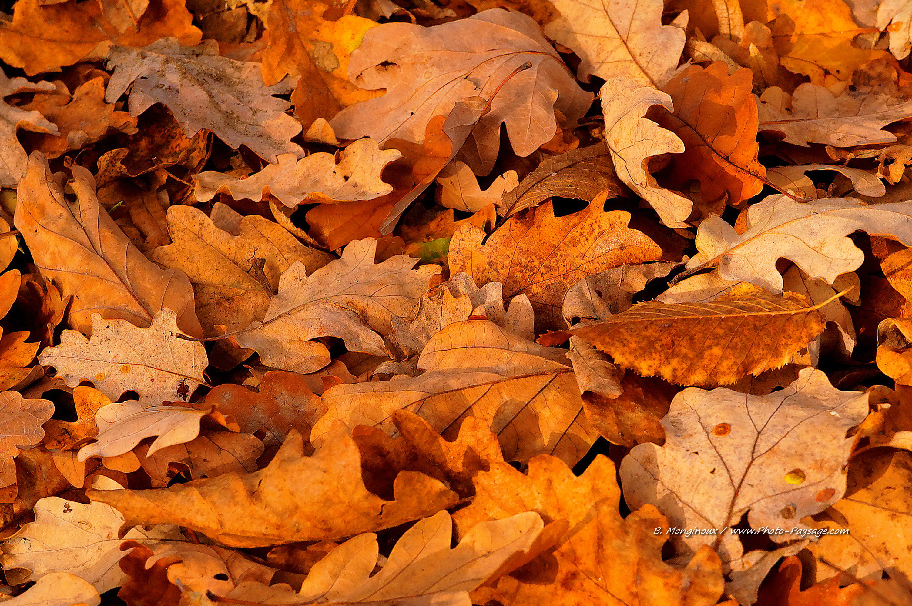 Feuilles mortes de chêne en automne