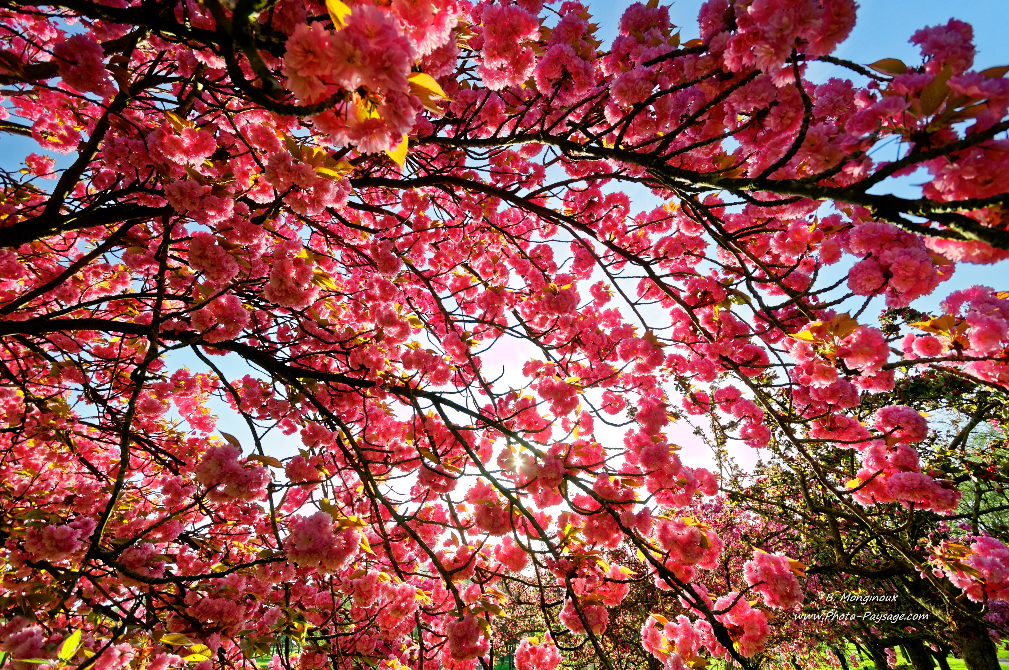 fleurs de cerisier hd