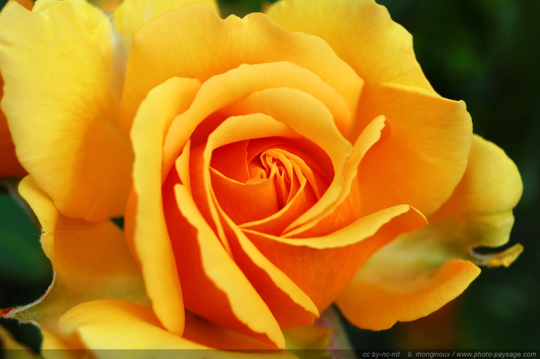 Image gallery la rose jaune for Langage des fleurs