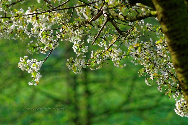arbre fleuri au printemps 1 images de printemps. Black Bedroom Furniture Sets. Home Design Ideas