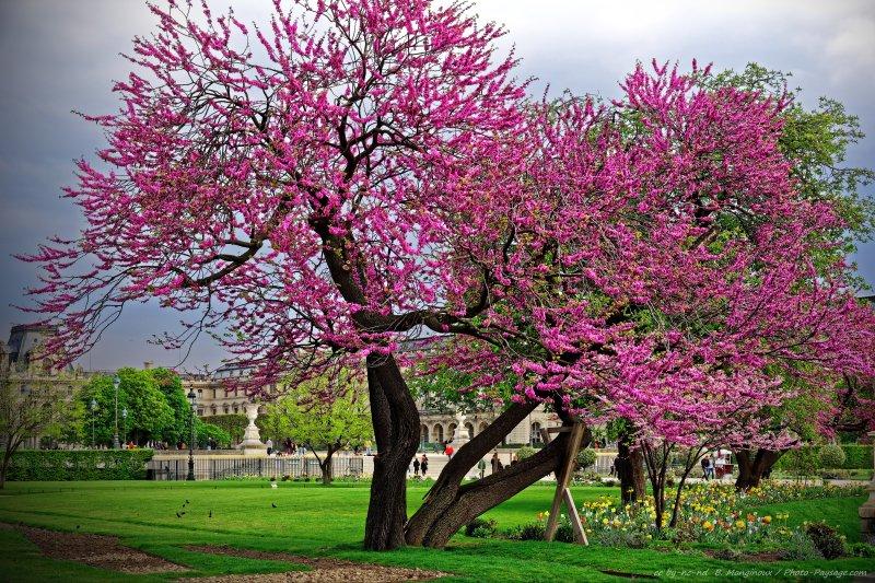 arbre remarquable un arbre de jud e en fleurs dans le jardin des tuileries jardin des. Black Bedroom Furniture Sets. Home Design Ideas