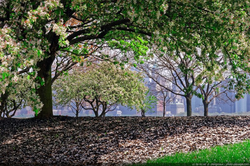 Des arbres en fleurs sur Ellis Island, une île située non loin de Liberty Island dans la baie de New-York (et où se trouve un musée de l'immigration dont je recommande la visite pour bien appréhender une partie de l'histoire de la ville). En arrière plan, les gratte-ciels de l'île de Manhattan.