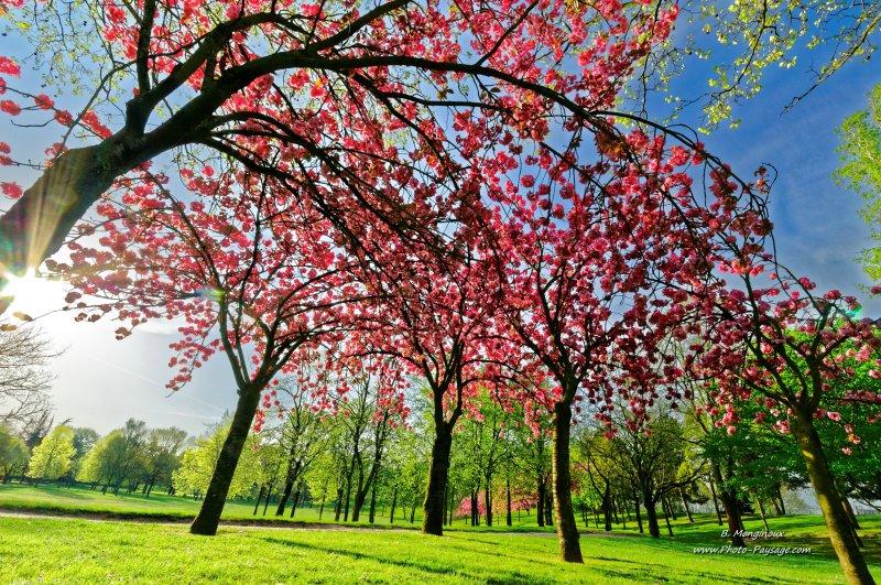 printemps sous les cerisiers en fleurs photo paysage. Black Bedroom Furniture Sets. Home Design Ideas
