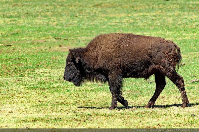 Bison d 39 am rique du nord parc national du grand canyon north rim arizona usa - Coloriage bison d amerique ...