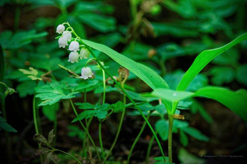 Un brin de muguet sauvage photographié un 1er mai dans les sous-bois de la forêt de Ferrières (Seine et Marne)
