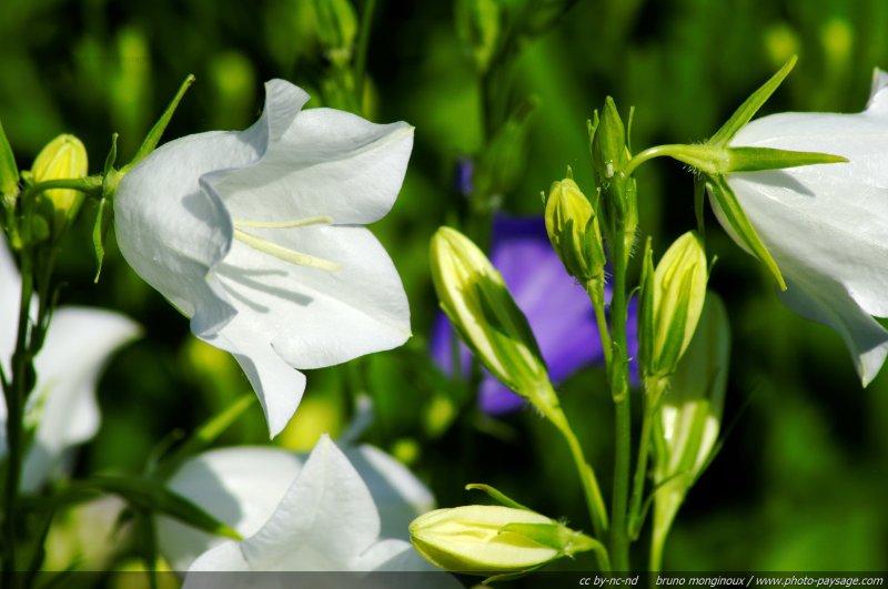 Campanule feuille de p cher blanche - Campanule a feuilles de pecher ...