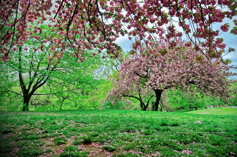 Cerisiers en pleine floraison dans Central Park - Manhattan, New-York, USA