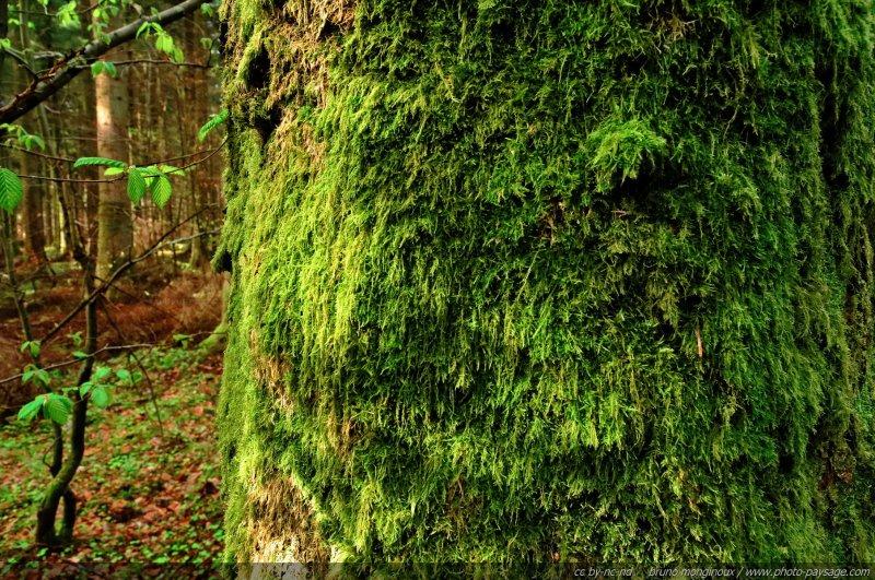 De la mousse qui recouvre le tronc d 39 un arbre dans la for t promenade dans les bois - Mousse sur les arbres ...
