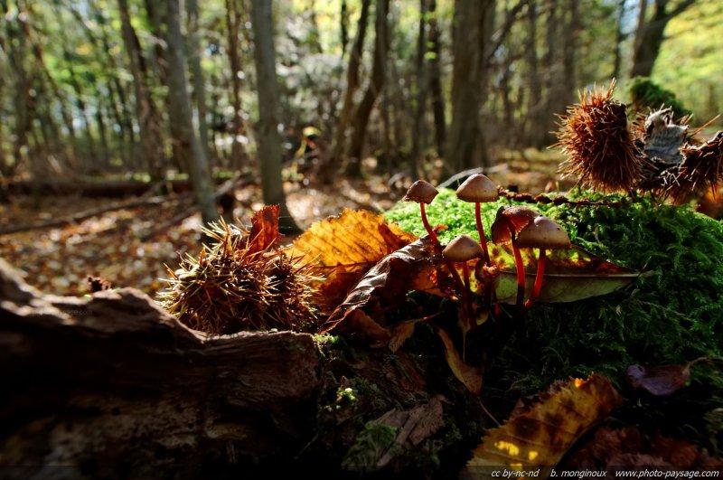 Des champignons en automne sur une vieille souche d'arbre dans la foret de Ferrieres