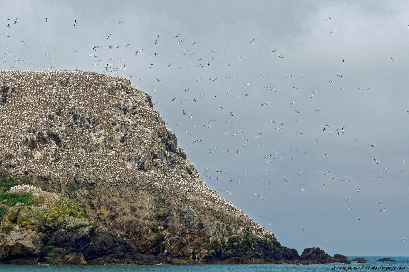 Des milliers de Fous de Bassan photographiés sur l'Île Rouzic, dans réserve naturelle nationale des Sept-Îles (Côtes d'Armor, Bretagne).