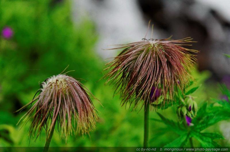 Etranges fleurs de montagne 01 pays des ecrins hautes alpes - Fleurs de montagne alpes ...