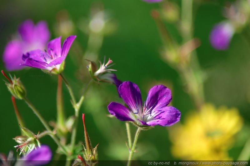 Fleurs de montagne massif des ecrins am pays des ecrins hautes alpes - Fleurs de montagne alpes ...