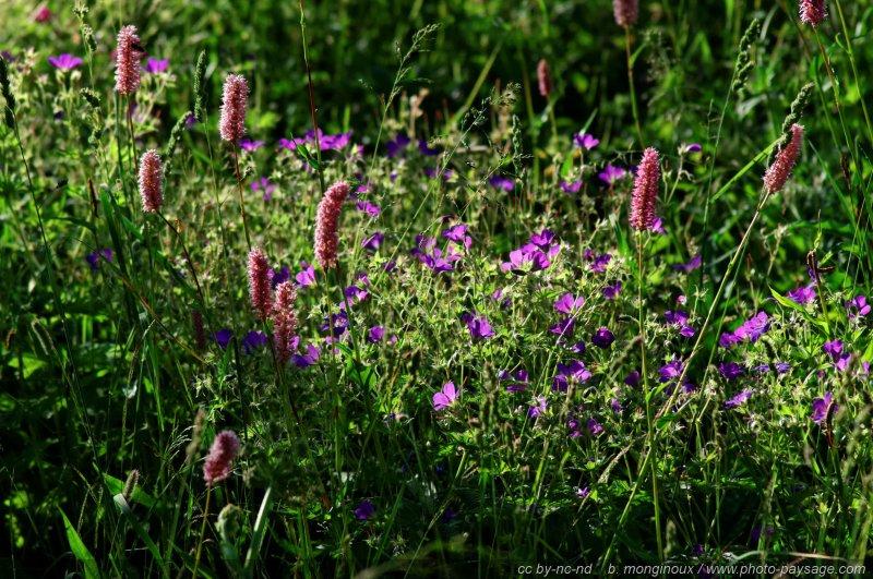 Fleurs de montagne massif des ecrins ax pays des ecrins hautes alpes - Fleurs de montagne alpes ...