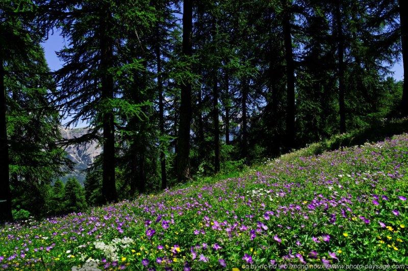 Fleurs de montagne massif des ecrins bk pays des ecrins hautes alpes - Fleurs de montagne alpes ...