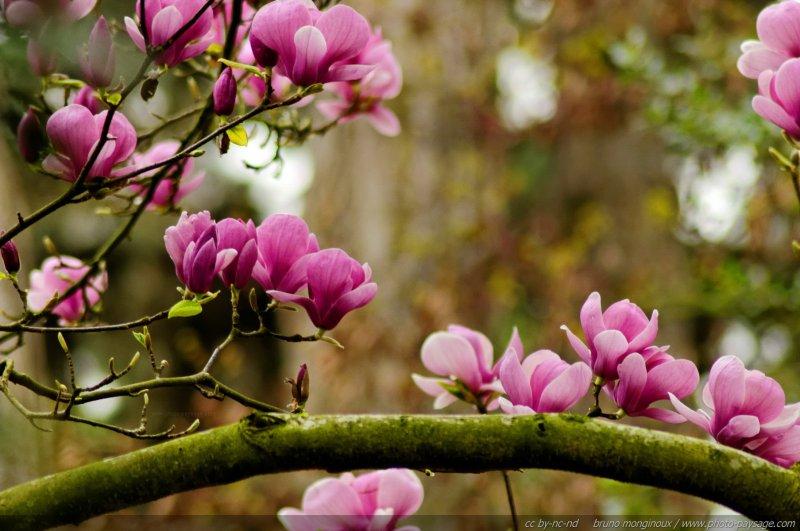 Les Plus Belles Images De Printemps Fleurs De Magnolia Au Printemps 2 Photo Paysage Com Photo Paysage Com