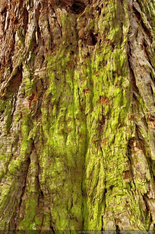 Mousse sur l 39 corce d 39 un s quoia for t de ferri res seine et marne - Mousse sur les arbres ...