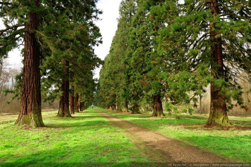 Un promeneur au milieu d'une allée de grands séquoias dans la forêt de Ferrières, en Seine et Marne