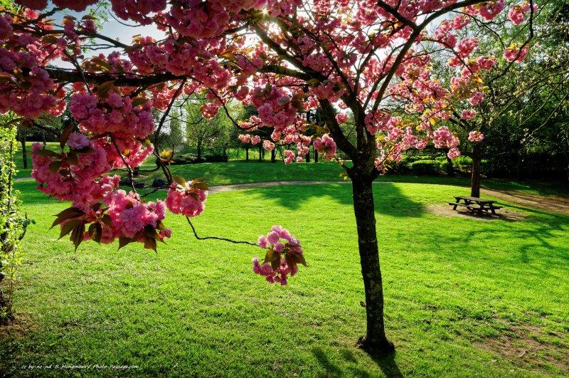 Description de l'image : un cerisier en fleurs dans un jardin avec une pelouse bien verte, et au loin une table de pique nique qui n'attend plus que vous :)