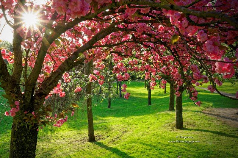 Le printemps en image : les rayons du soleil passant au travers des branches d'un cerisier en fleurs