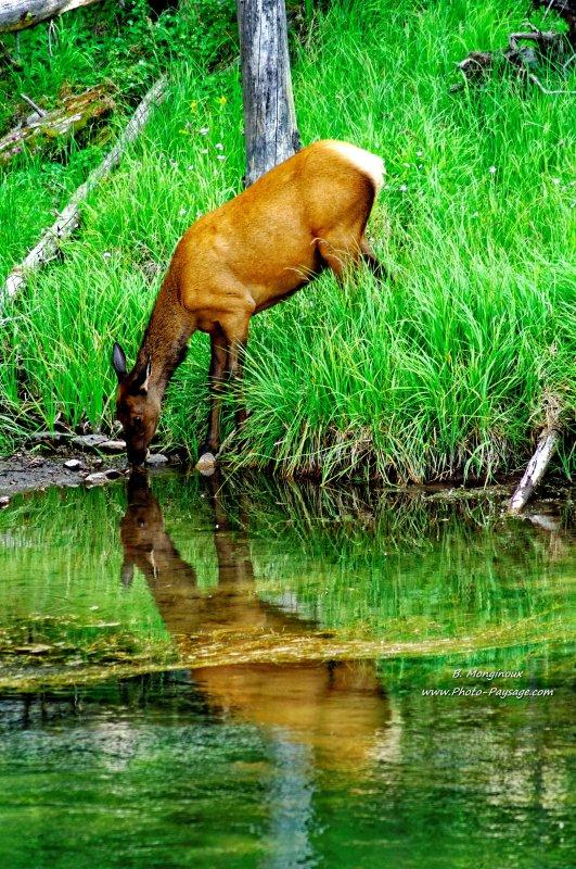 Reflets d'un elk (ou wapiti) s'abreuvant dans la rivière Gibbon - Parc national de Yellowstone, Wyoming, USA