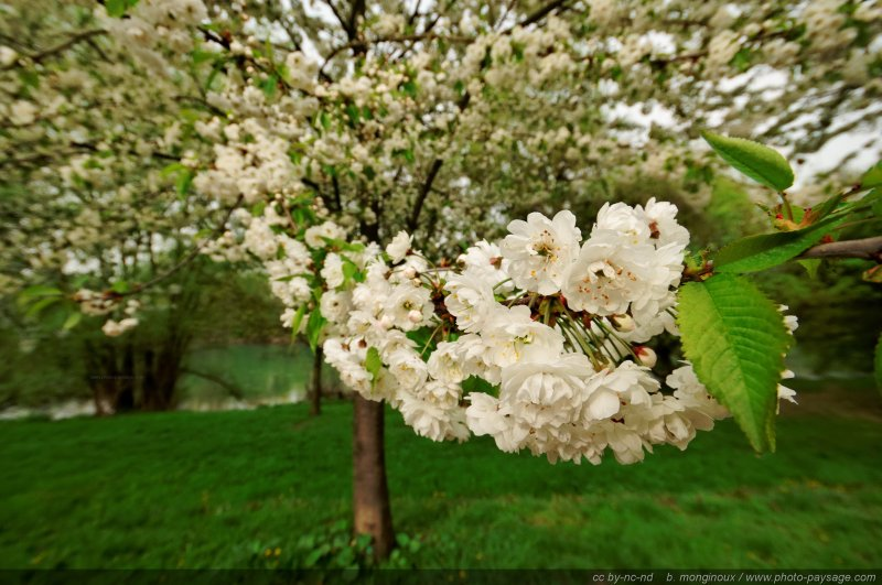 Hommages aux arbres - Page 3 Normal_Un-arbre-en-fleurs-au-bord-de-la-Marne
