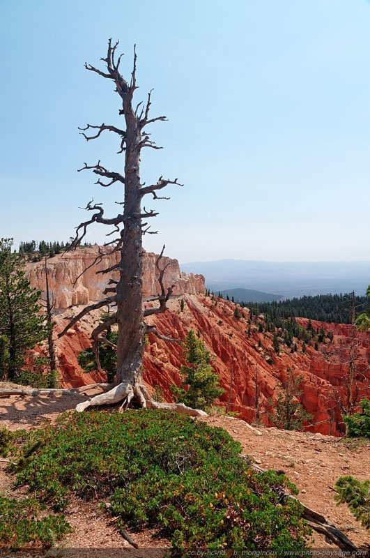 Un arbre foudroyé à Bristlecone loop - Rainbow point, Bryce Canyon National Park, Utah, USA