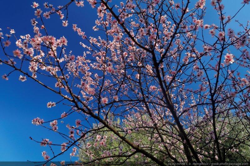 Un cerisier en fleurs dans les jardins du mont palatin for Fleurs dans le jardin
