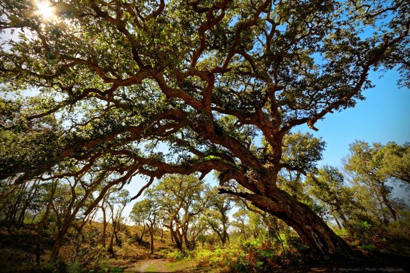 Au milieu de la réserve naturelle, un arbre tout à fait remarquable : un magnifique chêne-liège, qui aurait été planté ici il y a plus de 400 ans.