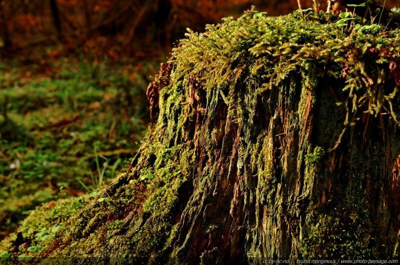 Une vieille souche d'arbre - [promenade dans les bois...]