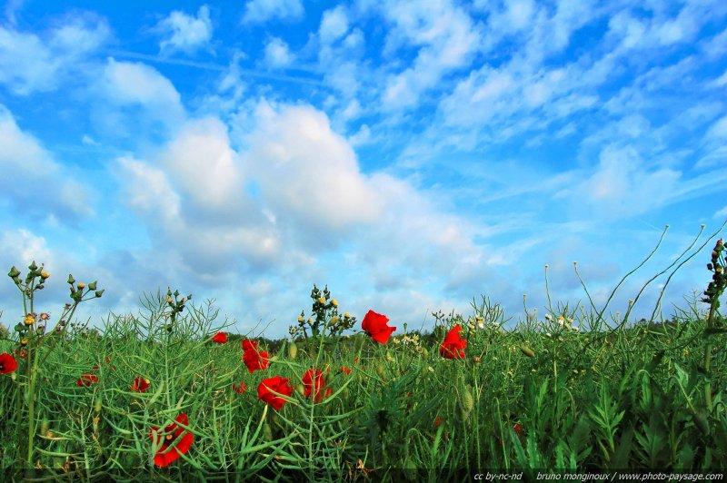 champs de coquelicots sous un beau ciel bleu un champs de coquelicots sur fond de ciel bleu. Black Bedroom Furniture Sets. Home Design Ideas