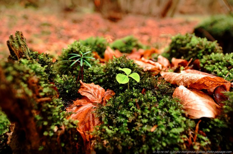 Mousse feuilles mortes oxalis et jeune pousse de conif re sur une vielle souche d 39 arbre - Mousse sur les arbres ...