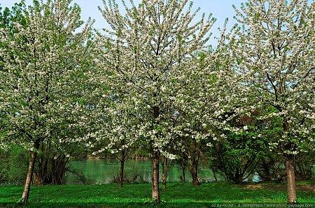 Arbres en fleurs photo paysage com - Arbre fleur mauve printemps ...