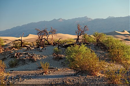 Arbres morts au bord des Mesquite Sand Dunes